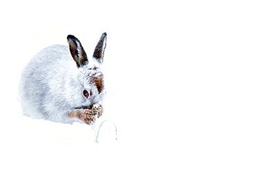 Mountain hare (Lepus timidus) in the Scottish Highlands, Scotland, United Kingdom, Europe
