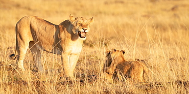 Roaring lioness with cubs, Masai Mara, Kenya, East Africa, Africa