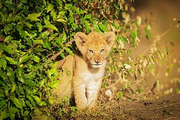 Lion cub, Masai Mara, Kenya, East Africa, Africa