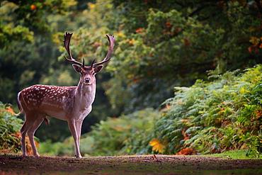 Fallow deer (Dama dama) in an autumnal forest, Bradgate, England, United Kingdom, Europe