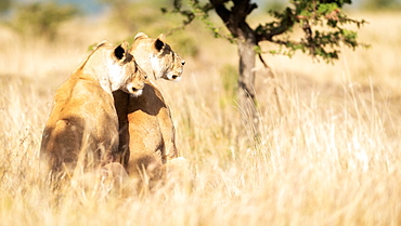 Two lionesses observing their territory, Masai Mara, Kenya, East Africa, Africa