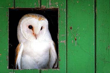 Common barn owl (Tyto alba) sitting in barn door, Yorkshire, England, United Kingdom, Europe
