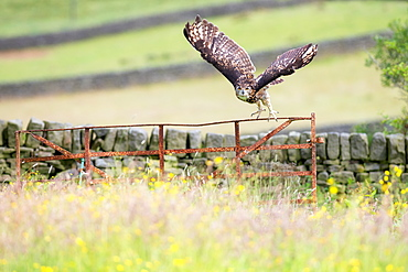 Eurasian Eagle-owl (Bubo bubo), adult, in flight, United Kingdom, Europe