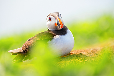 Puffin (Fratercula), Farne Islands, Northumberland, England, United Kingdom, Europe