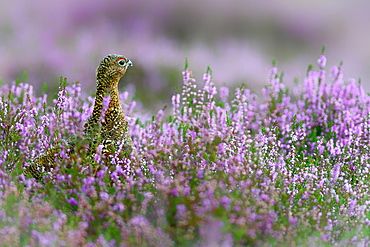 Red grouse in the heather, Scotland, United Kingdom, Europe