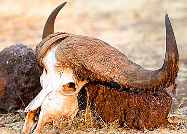 Buffalo skull, Okavango Delta, Botswana, Africa