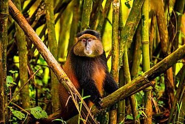 Golden Monkey in Volcanoes National Park, Rwanda, Africa