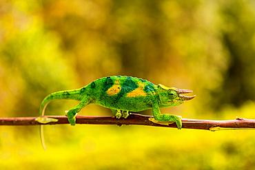 Three-horned Chameleon in Volcanoes National Park, Rwanda, Africa