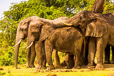 Elephants in Queen Elizabeth National Park, Uganda, East Africa, Africa