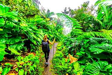 Woman hiking through the giant elephant ear plants, Saba Island, Netherlands Antilles, West Indies, Caribbean, Central America