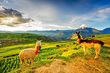 Llamas, Moray, Peru, South America