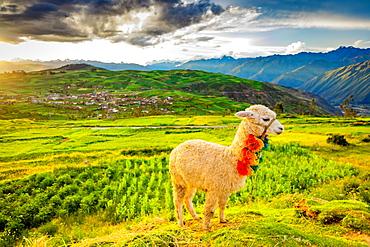 Llama, Moray, Peru, South America