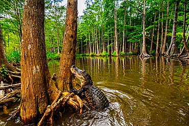 Alligators, swamp near New Orleans, Louisiana, United States of America, North America
