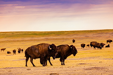 American Bison in their natural habitat of the Badlands, South Dakota, United States of America, North America