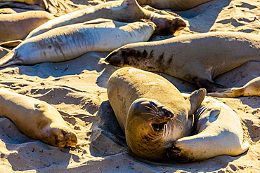 Seals along the beach bathing in the sun, Big Sur, California, United States of America, North America