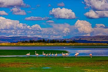 Flamingos grazing by lake, Ayacucho, Peru, South America