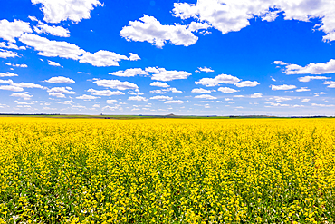 Rolling field of yellow flowers under a blue sky and fluffy clouds.