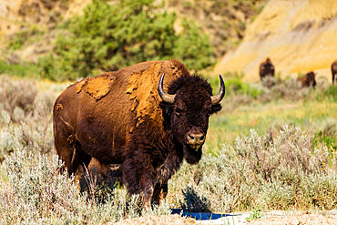Bison grazing along the Theodore Roosevelt National Park North Unit.