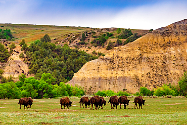 Bison in the Theodore Roosevelt National Park South Unit.