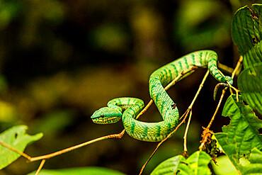 Green tree pit viper in Gunung Mulu National Park, Malaysia, Borneo, Southeast Asia, Asia