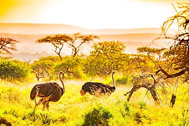 Ostrich (Struthio Camelus), Zululand, South Africa, Africa