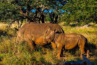 Rhinoceros (Rhinocerotidae), Zululand, South Africa, Africa