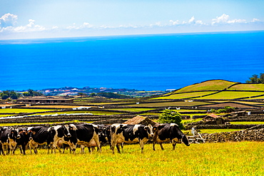 Scenic view with cows on Terceira Island in the Azores, Portugal, Atlantic, Europe