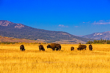 Buffalo roaming free in Jackson, Wyoming, United States of America, North America