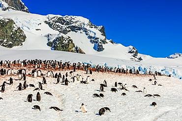 Gentoo penguins roaming around in scenic Antarctica, Polar Regions