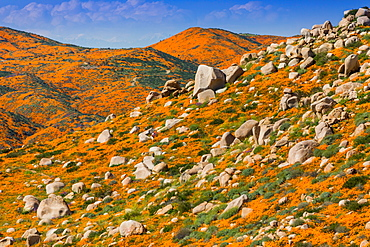 California Superbloom, the Poppy fields of Lake Elsinore, California, United States of America, North America