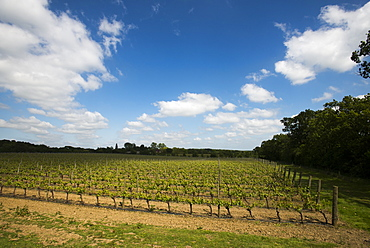 A vineyard in Sussex, England, United Kingdom, Europe