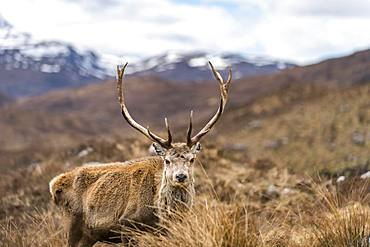 A wild Red Deer with big antlers in the Scottish Highlands in Torridon along The Cape Wrath Trail, Highlands, Scotland, United Kingdom, Europe