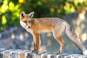An urban fox cub on a garden wall in London, England, United Kingdom, Europe