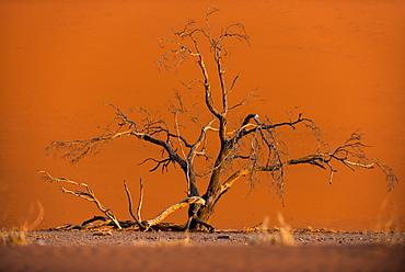 Acacia tree in front of Dune 45 in the Namib Desert at sunset, Sossusvlei, Namib-Naukluft Park, Namibia, Africa