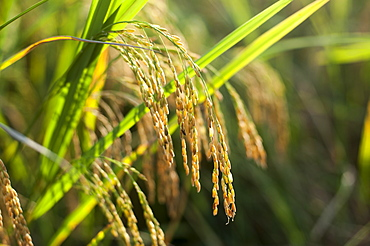 Fully matured rice ready to be harvested in Yunnan Province, China, Asia