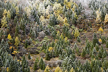 Early in morning frost on trees in Mount Siguniang, an area of outstanding natural beauty in Sichuan Province, China, Asia