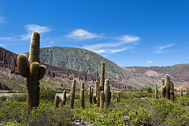 Towering cactus in the tortured Jujuy landscape, Argentina, South America