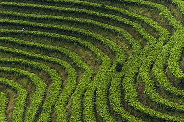 Famous all over China, Puer tea is classed as the best quality, Yunnan Province, China, Asia