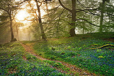 Bluebells and mist in Manesty Wood in Borrowdale, Derwent Water, The English Lake District, England.