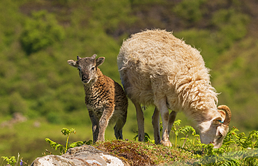 A Soay Hebridean Ewe and lamb at Cleadale crofting community, Isle of Eigg, Small Isles, Inner Hebrides, Scotland, United Kingdom, Europe
