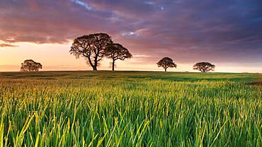 Daybreak over oak trees in a corn field near York, England