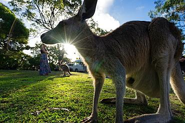 A kangaroo is framed by the setting sun, Australia, Pacific