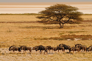 A group of antelopes at the heart of Etosha National Park, Namibia, Africa