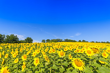 Sunflower field in Burgenland, Austria, Europe