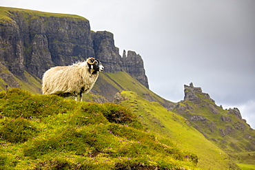 Ram Sheep (Ovis aries), The Quiraing, Isle of Skye, Inner Hebrides, Highlands and Islands, Scotland, United Kingdom, Europe