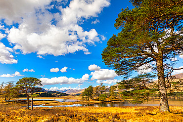 Scots Pine trees on the shores of Loch Tulla, Argyll and Bute, Scottish Highlands, Scotland, United Kingdom, Europe