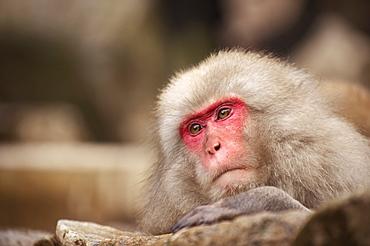 Japanese macaque, Jigokudani, Nagano, Japan, Asia
