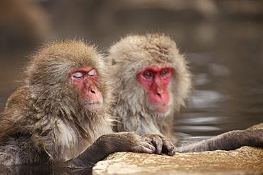 Japanese macaques in hot spring, Jigokudani, Nagano, Japan, Asia