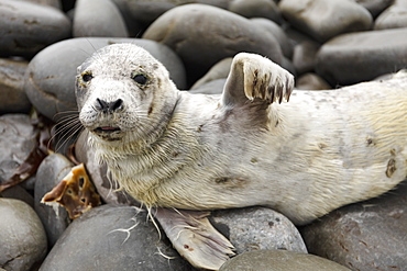 Grey Seal, County Clare, Munster, Republic of Ireland, Europe