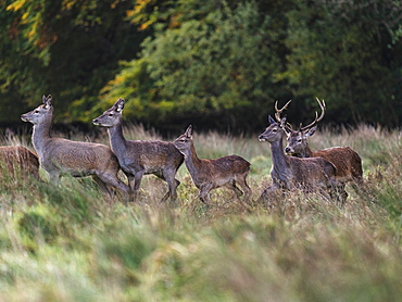Red Deer, Killarney National Park, County Kerry, Munster, Republic of Ireland, Europe
